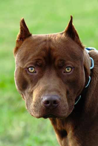 2013 Most Dangerous Dog Breeds