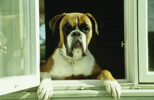 angry-bull-mastiff-hanging-out-window-wt-johnson